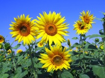 sunflowers-268015_1280